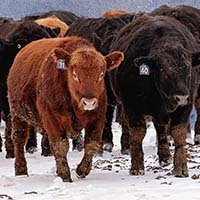 Bulls walking in the snow